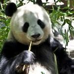 Was der Panda wohl über den Tee aus seinem Kot denkt? ©pixabay/PublicDomainPictures